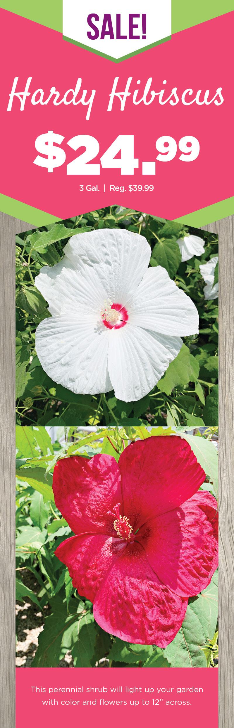 Hardy Hibiscus | TLC Garden Centers