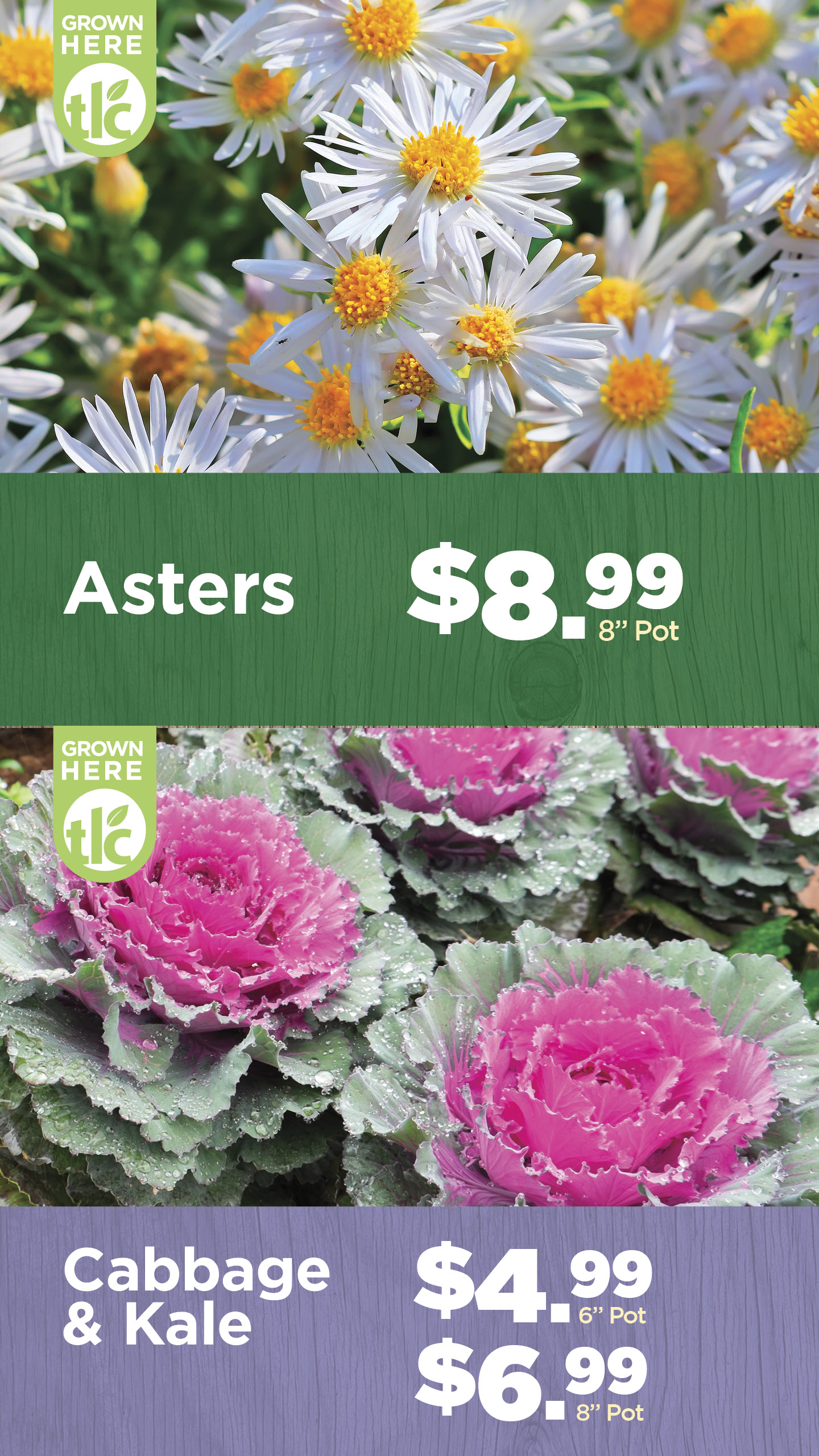 Asters | Cabbage and Kale | TLC Garden Centers