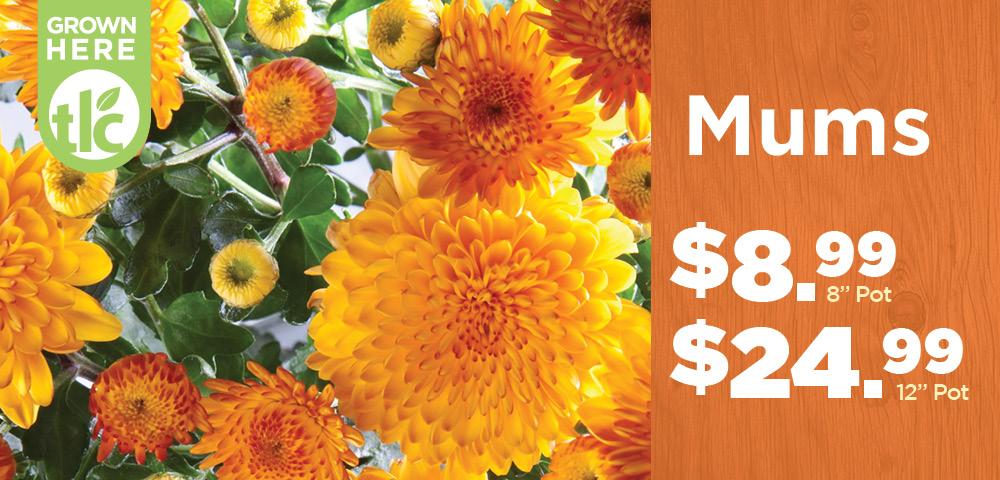 Mums | TLC Garden Center