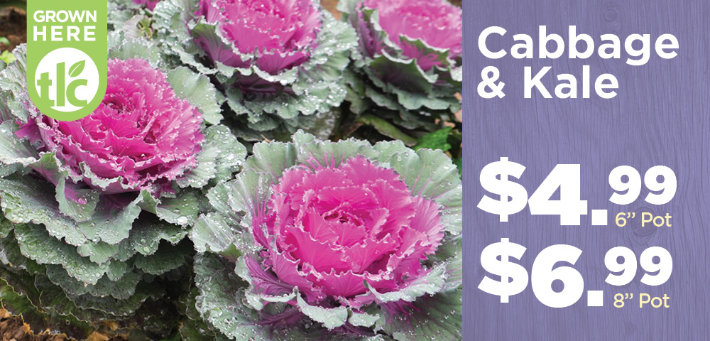 Cabbage and Kale | TLC Garden Centers