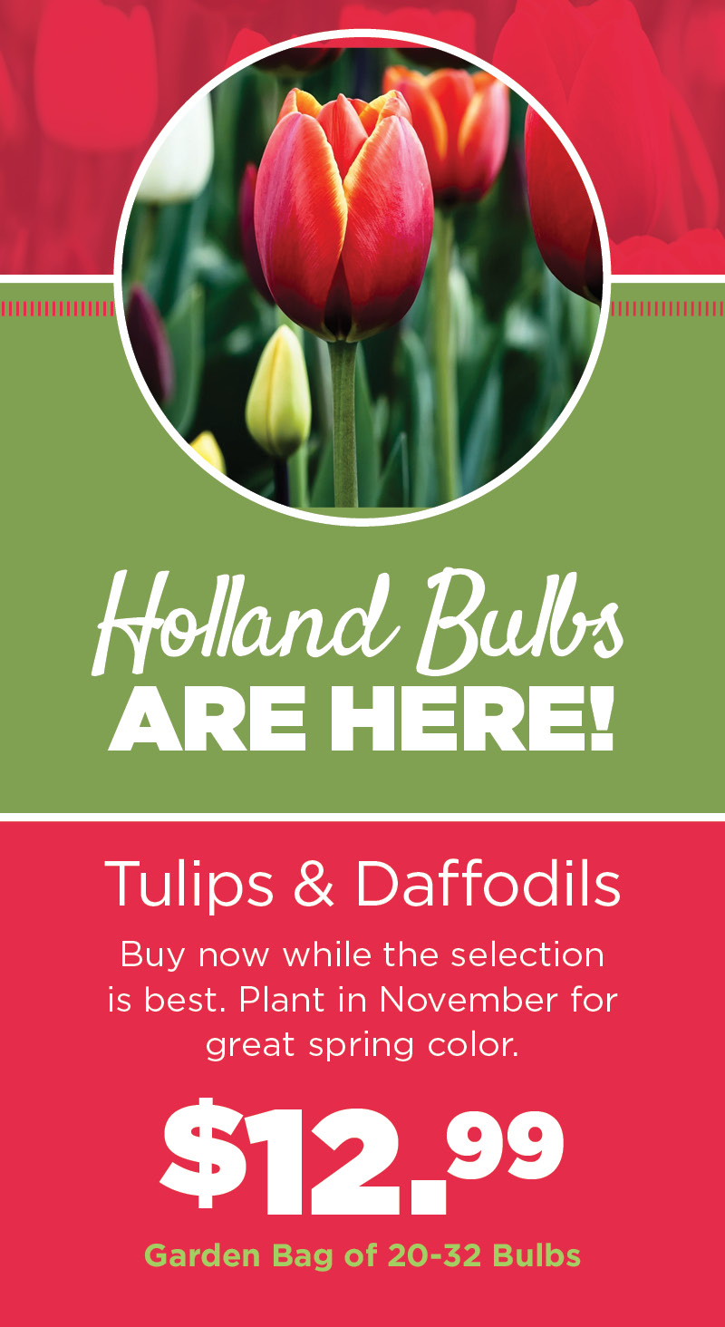 Holland Bulbs | TLC Garden Center