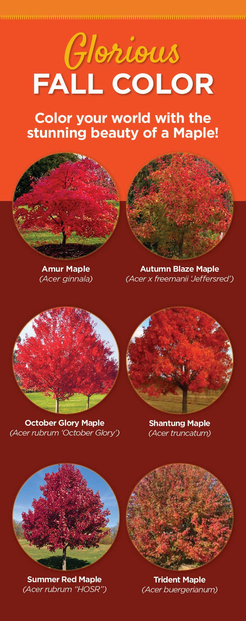 Magnificent Maple Trees | TLC Garden
