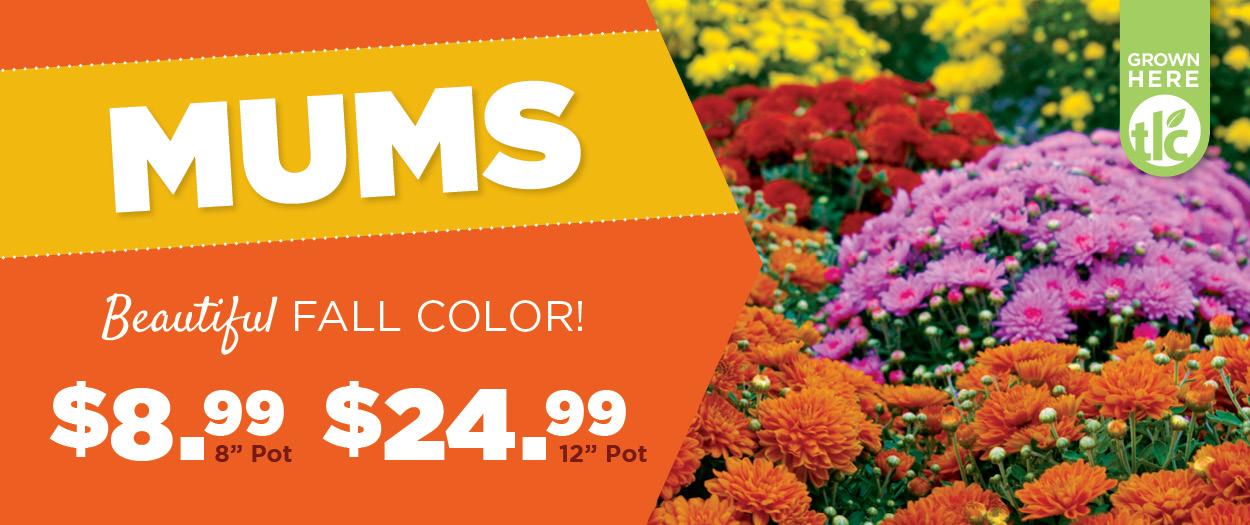 Mums | TLC Garden Centers