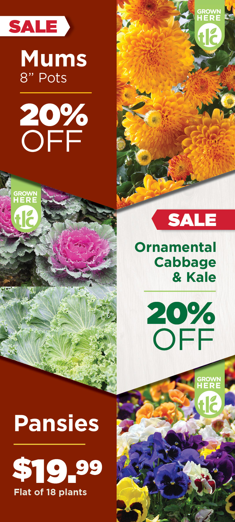 Mums | Pansies | Cabbage and Kale | Sale at TLC
