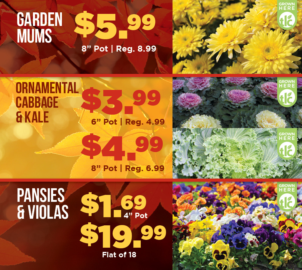 Mums and More on Sale | TLC Garden Centers