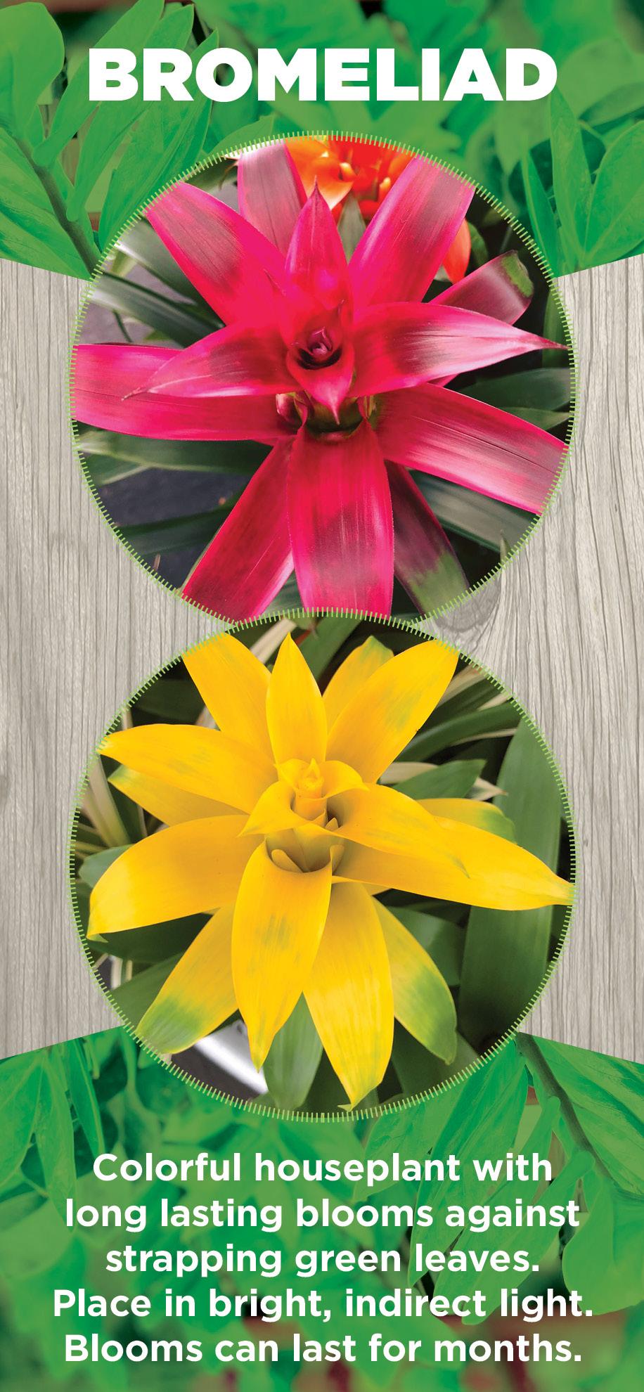 Bromeliad | TLC Garden Centers