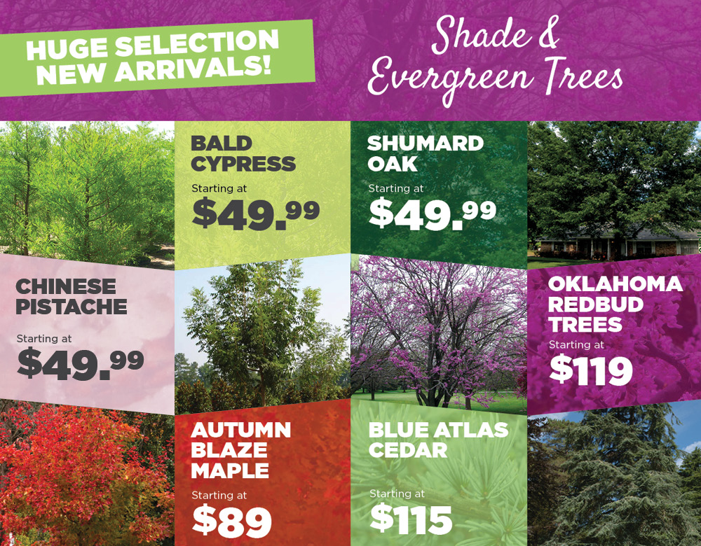 Shade and Evergreen Trees | TLC Garden Centers