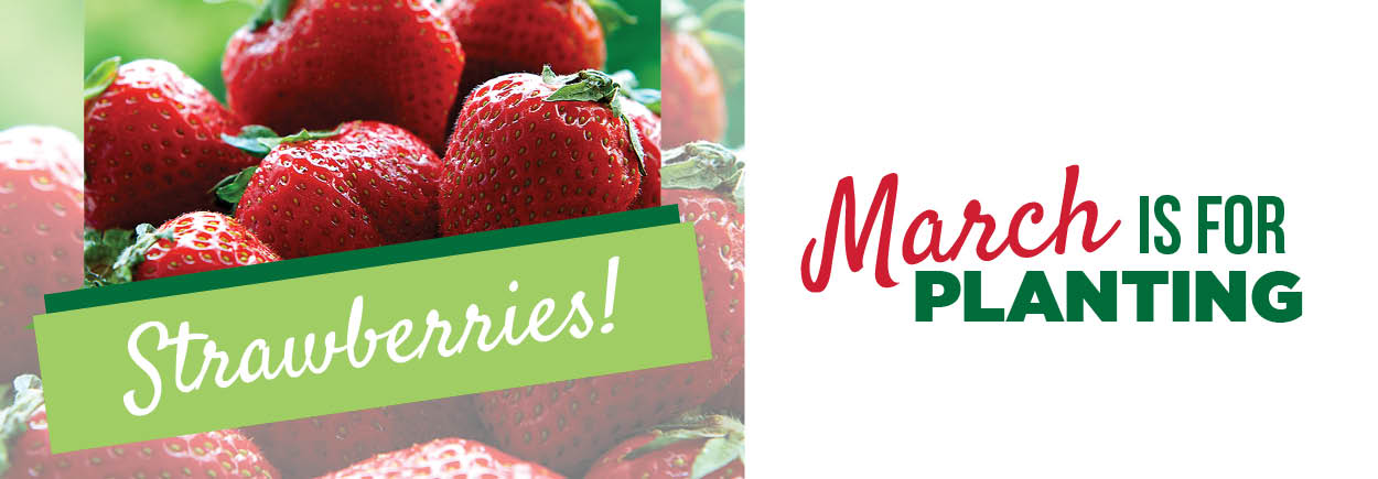 Strawberries | TLC Garden Centers