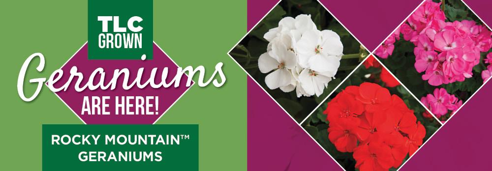 Geraniums | TLC Garden Centers
