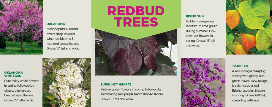 Redbud Trees | TLC Garden Centers