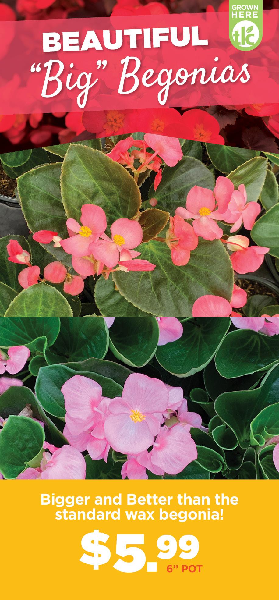 Begonias | TLC Garden Centers