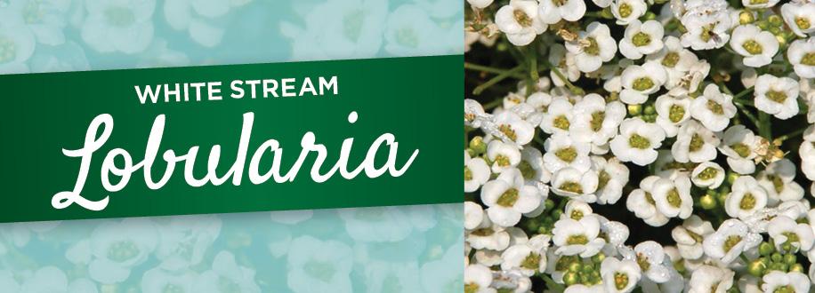 Lobularia | TLC Garden Centers