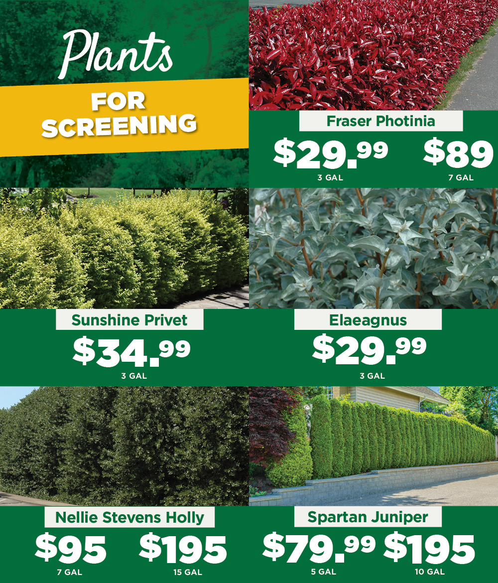 Plants for Screening | TLC Garden Centers