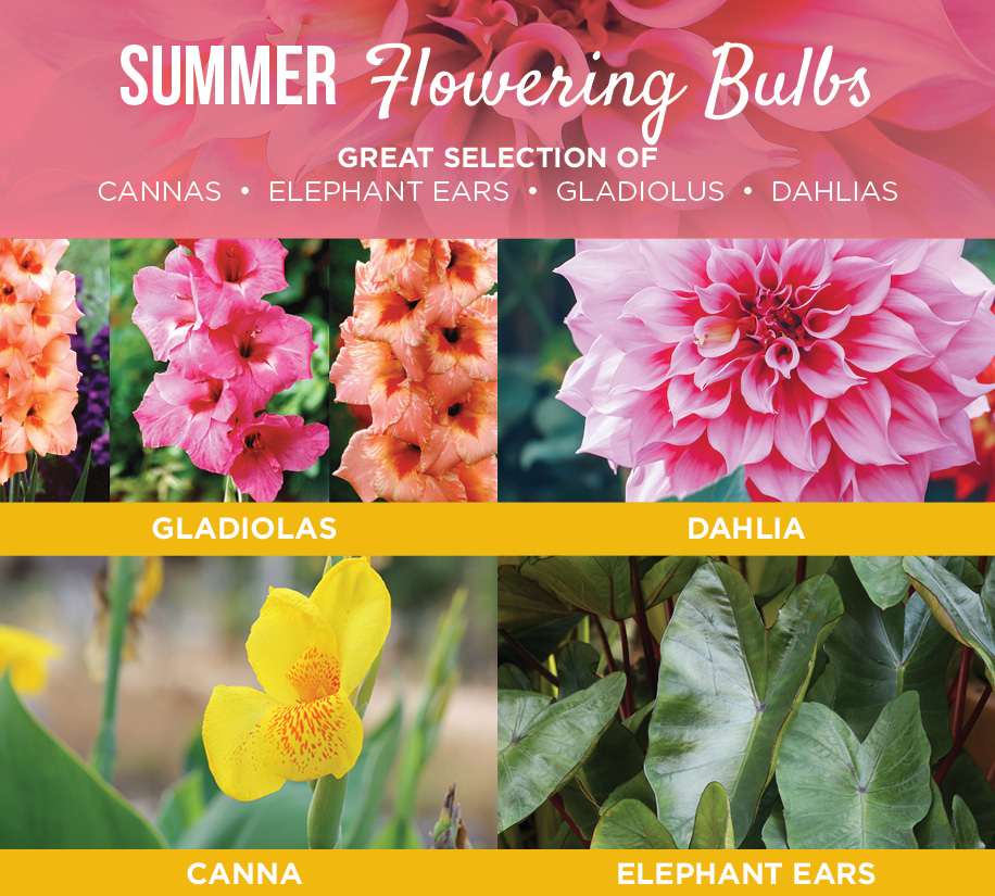 Summer Flowering Bulbs | TLC Garden Centers