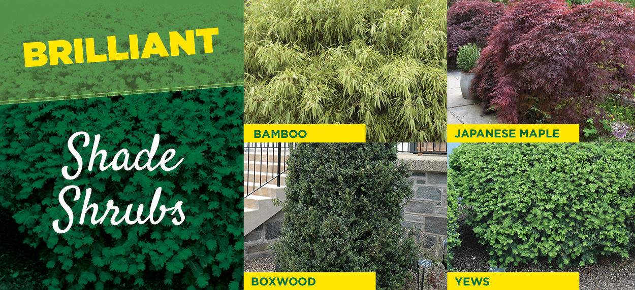 Shade Shrubs | TLC Garden Centers