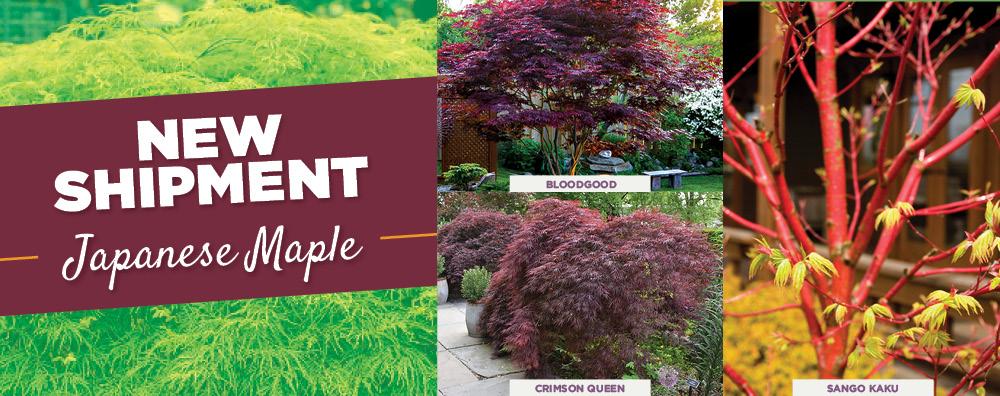 Japanese Maples | TLC Garden Centers