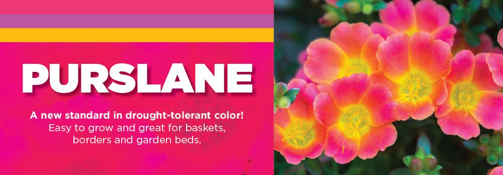 Purslane | TLC Garden Centers