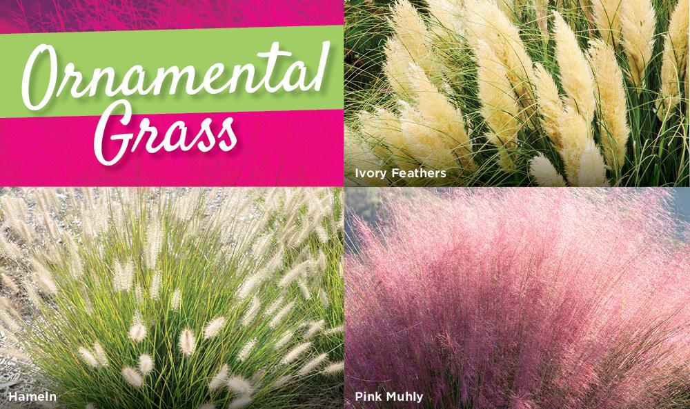 Ornamental Grass  | TLC Garden Centers