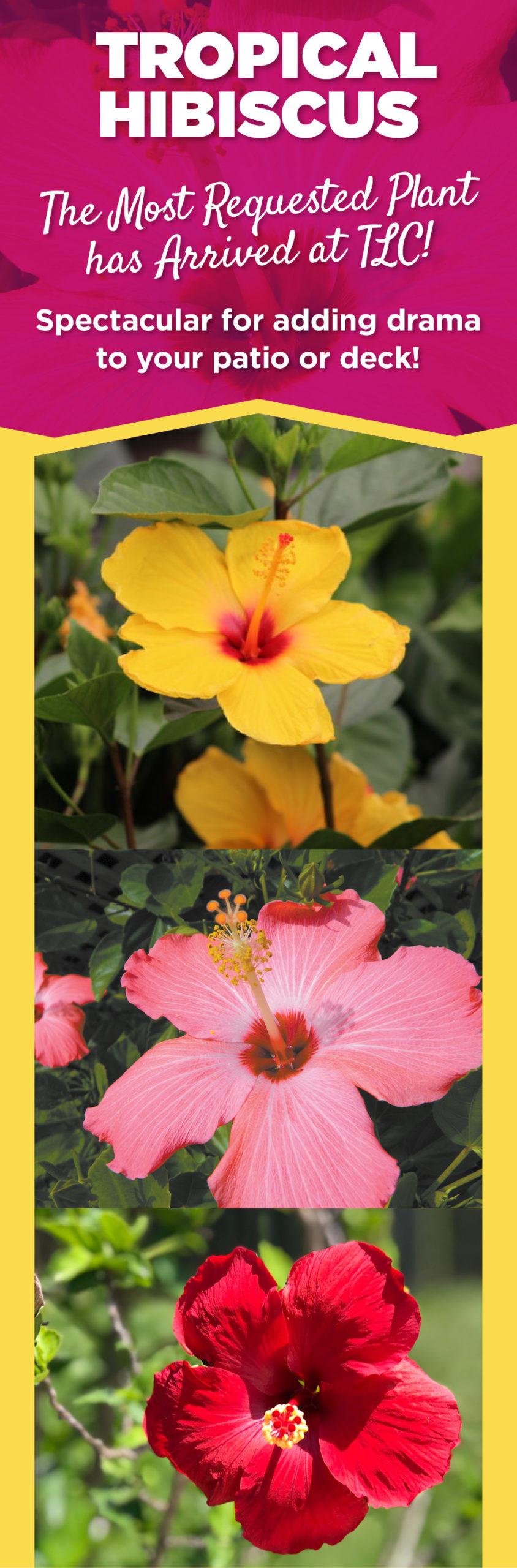 Hibiscus | TLC Garden Centers