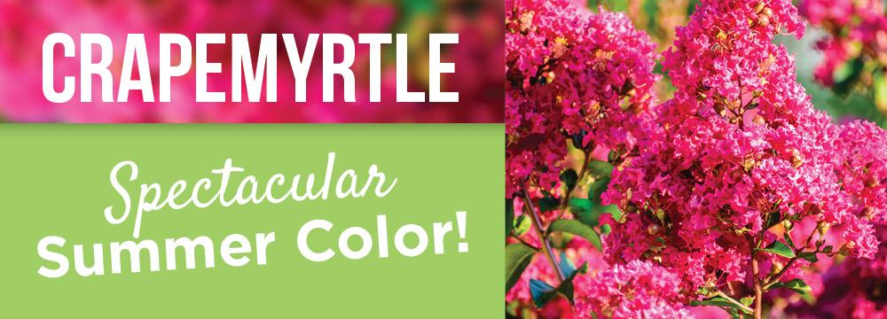 Crapemyrtle | TLC Garden Centers