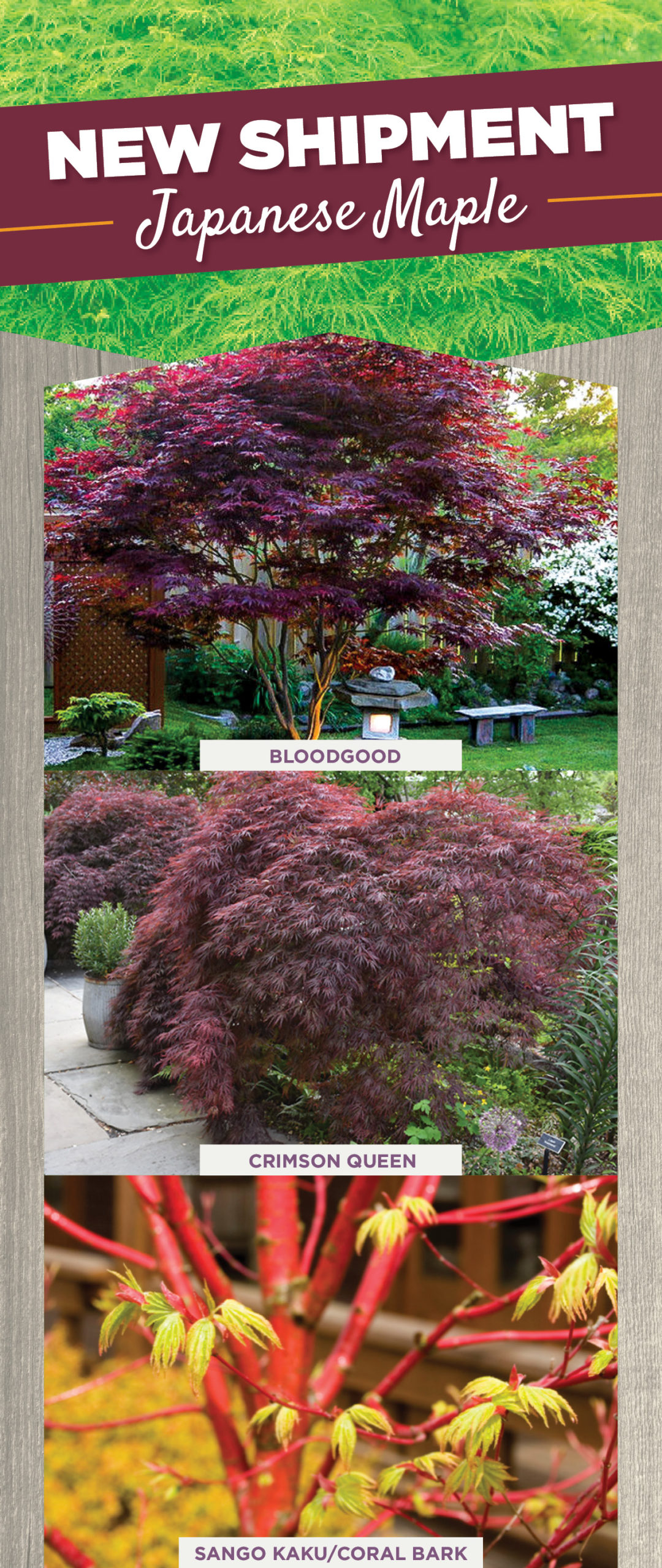 Japanese Maples | TLC Garden Centers
