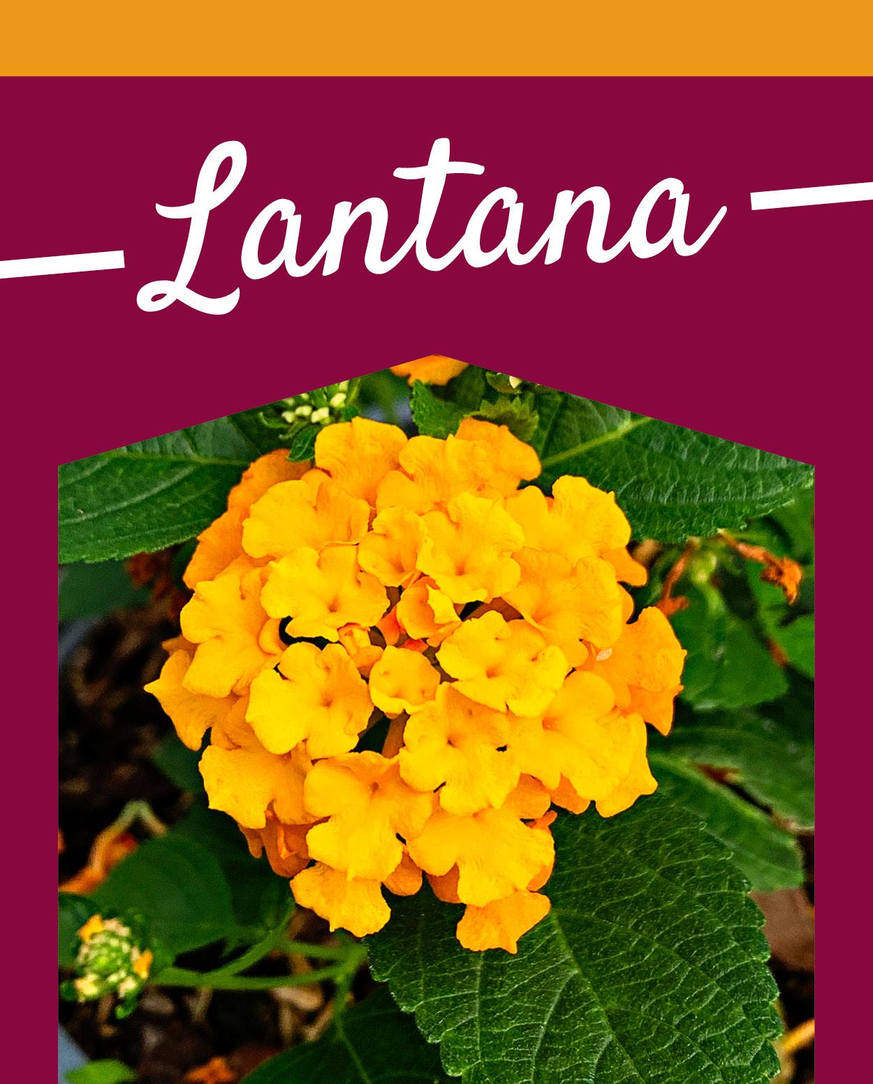 Lantana | TLC Garden Centers
