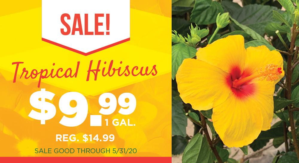 Tropical Hisiscus | TLC Garden Centers