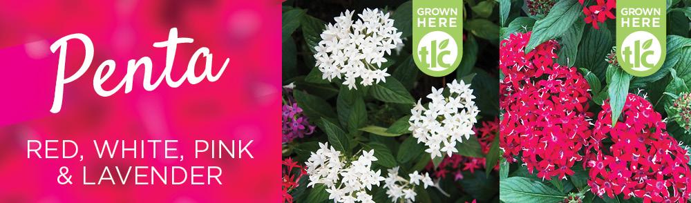 Penta | TLC Garden Centers