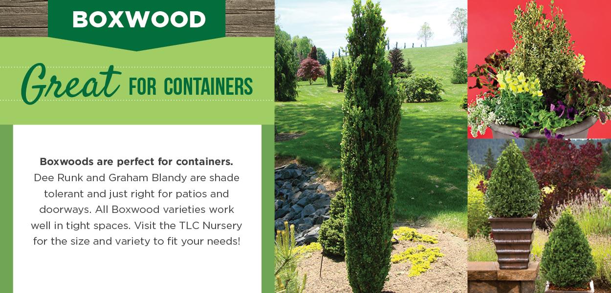Boxwood | TLC Garden Centers