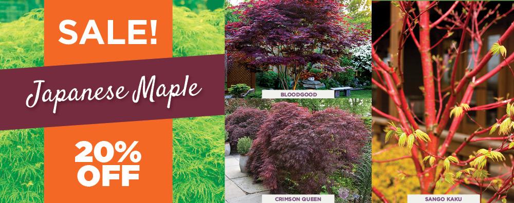 Japanese Maple Sale | TLC Garden Center