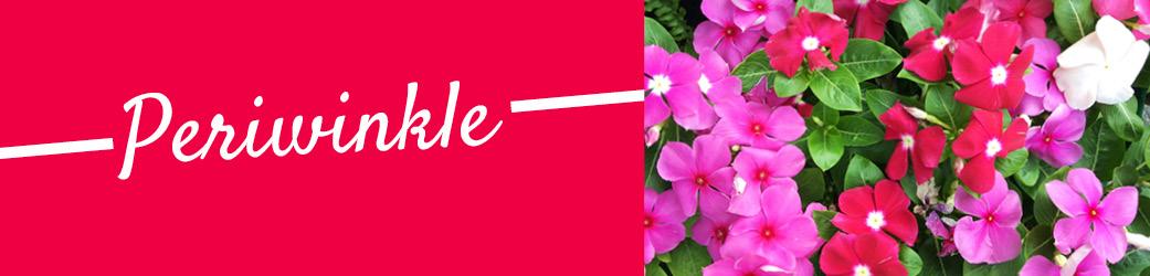 Periwinkle | TLC Garden Centers