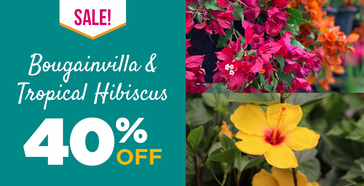 Bougainvilla and Tropical Hibiscus Sale | TLC Garden Centers