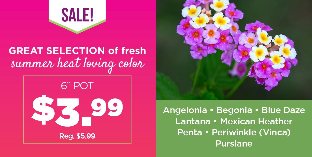 Summer Heat Loving Color | Plant Sale | TLC