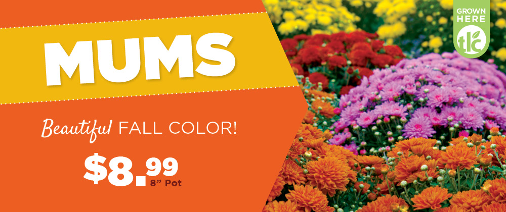 Mums | TLC Garden Center