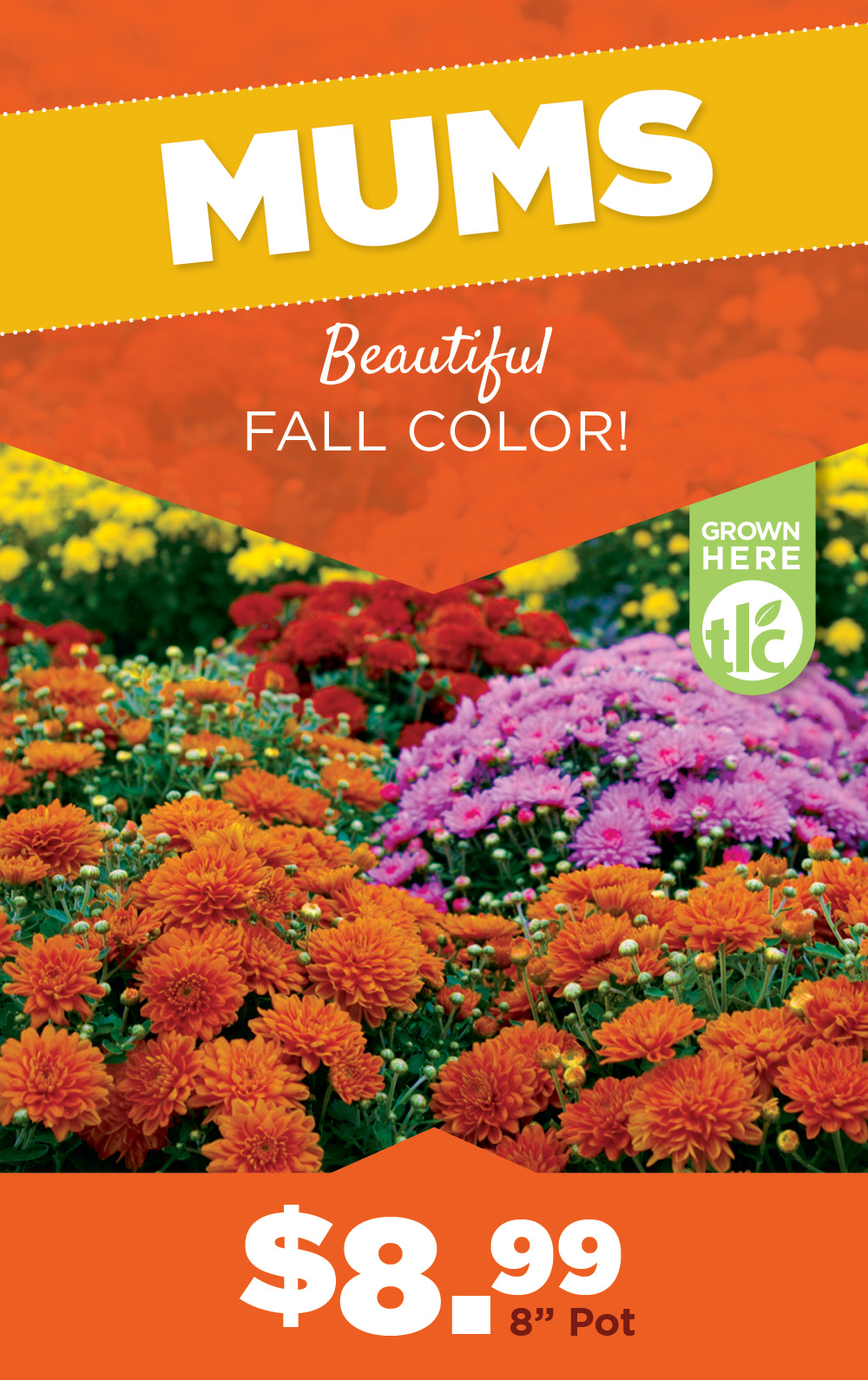 Mums, Asters, Cabbage | TLC Garden Center