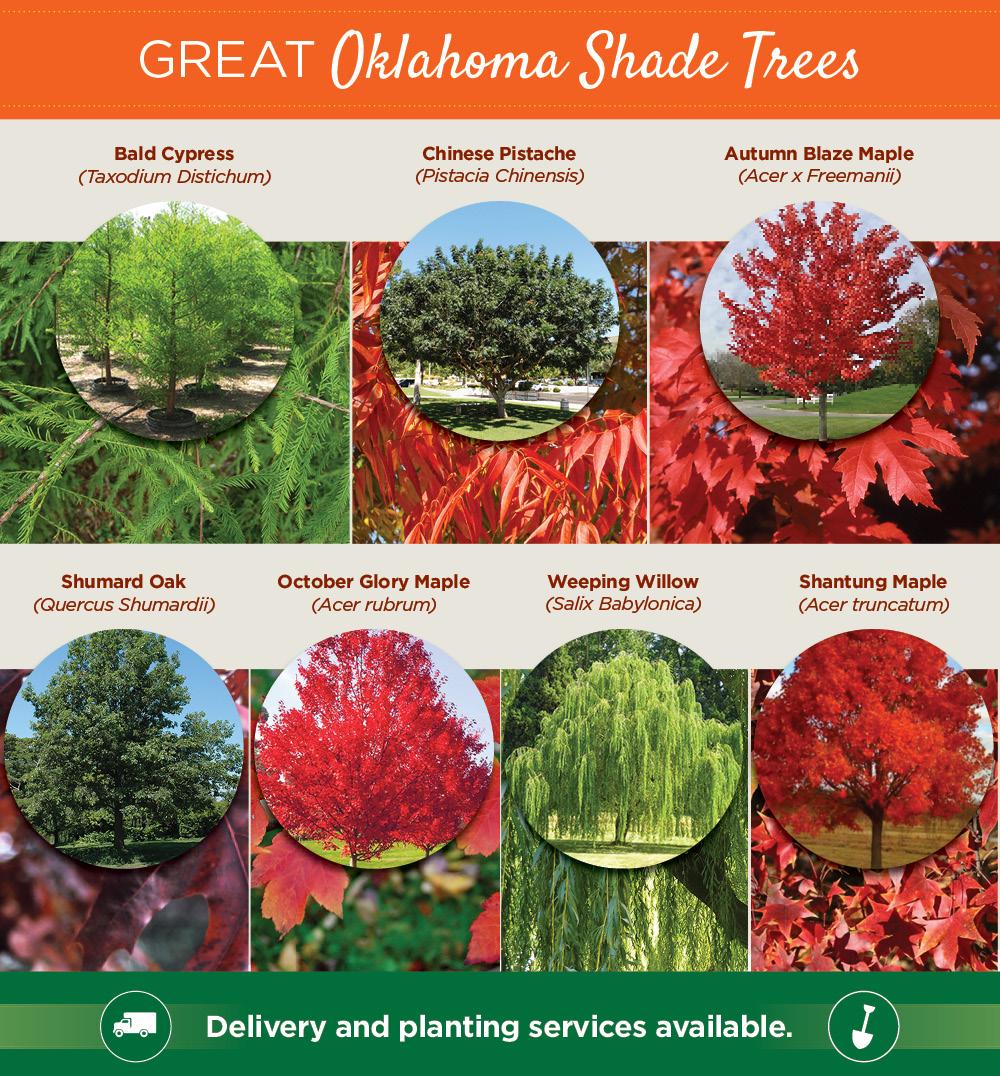 Oklahoma Shade Trees | TLC Garden Centers
