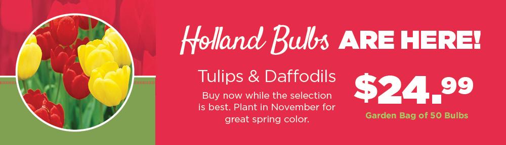 Holland Bulbs | TLC Garden