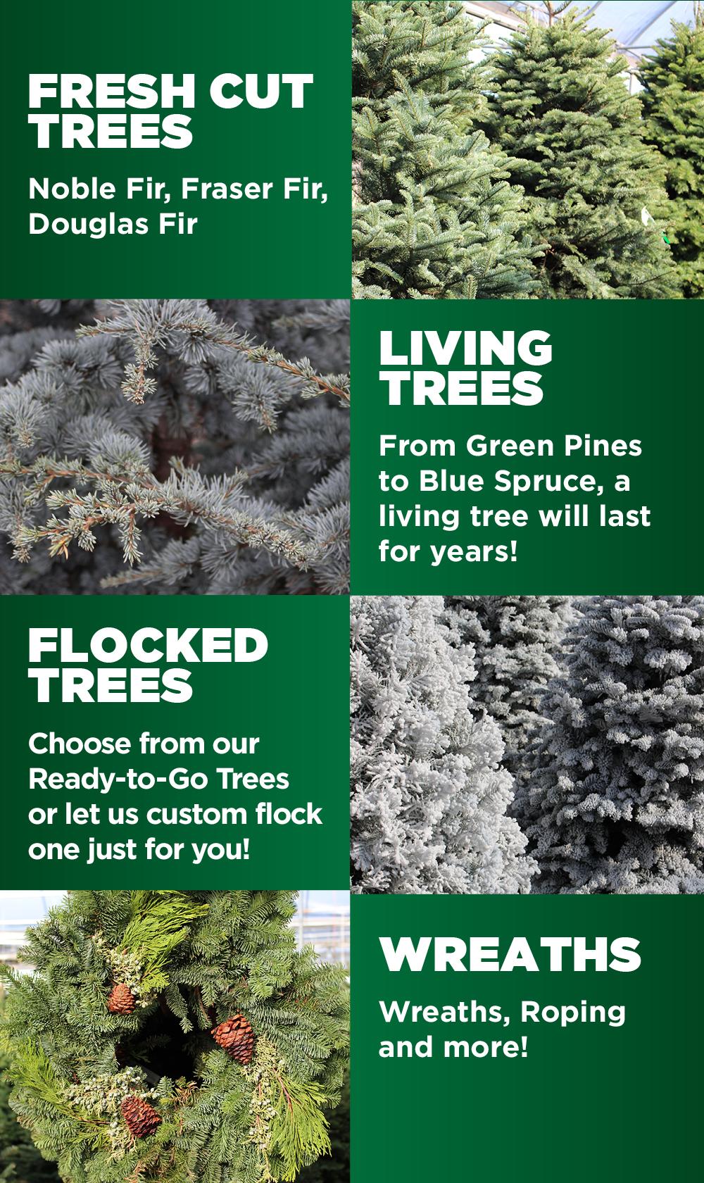 Christmas Trees | TLC Garden Centers