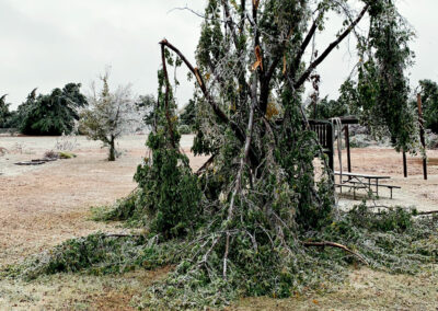 Ice Storm Damage | Will your tree survive?