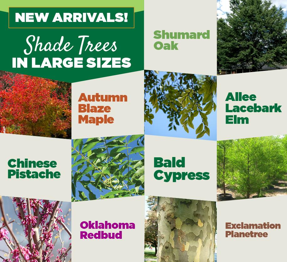 Shade Trees | TLC Garden Centers