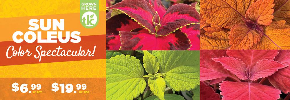 Sun Coleus | TLC Garden Centers