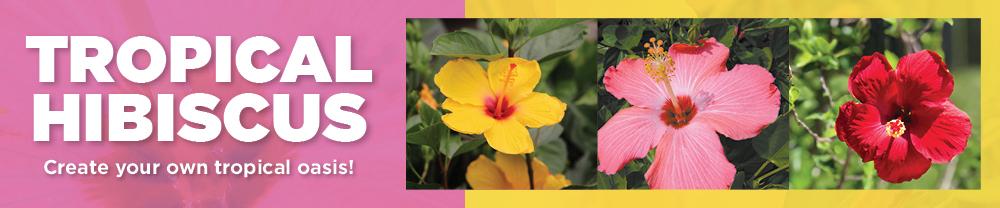 Tropical Hibiscus | TLC Garden Centers