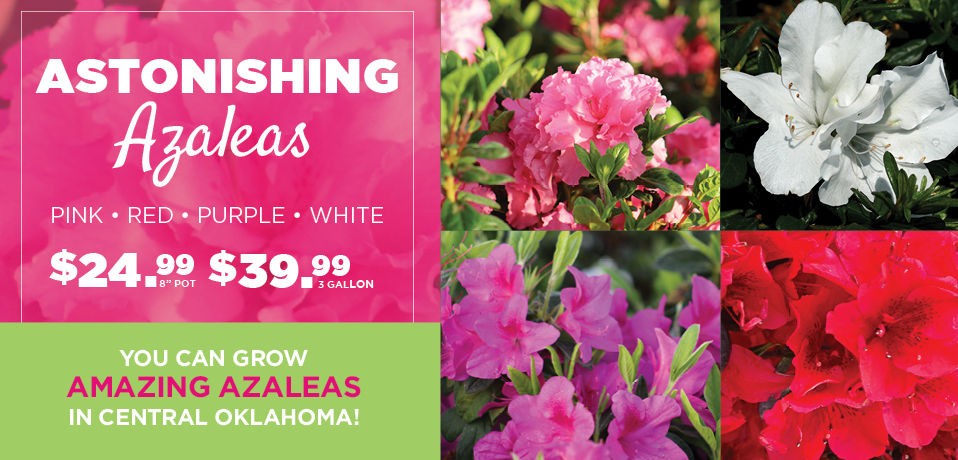 Azaleas | TLC Garden Centers