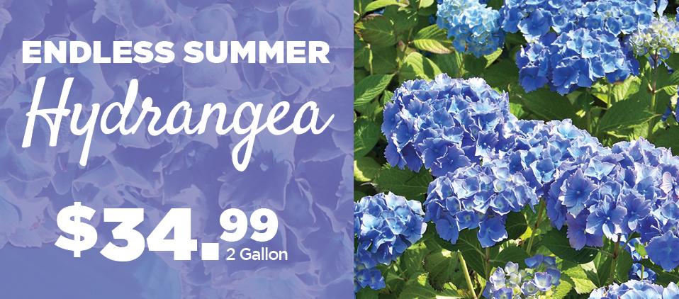 Hydrangeas | TLC Garden Centers