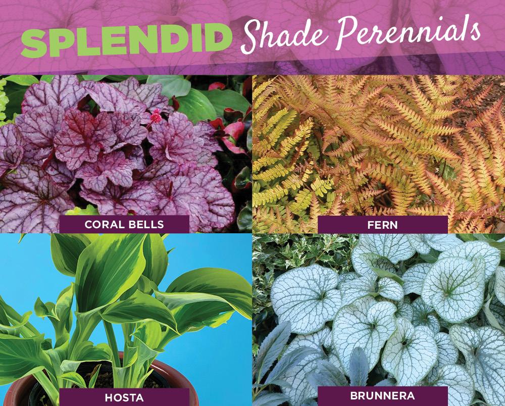 Shade Perennials | TLC Garden Centers