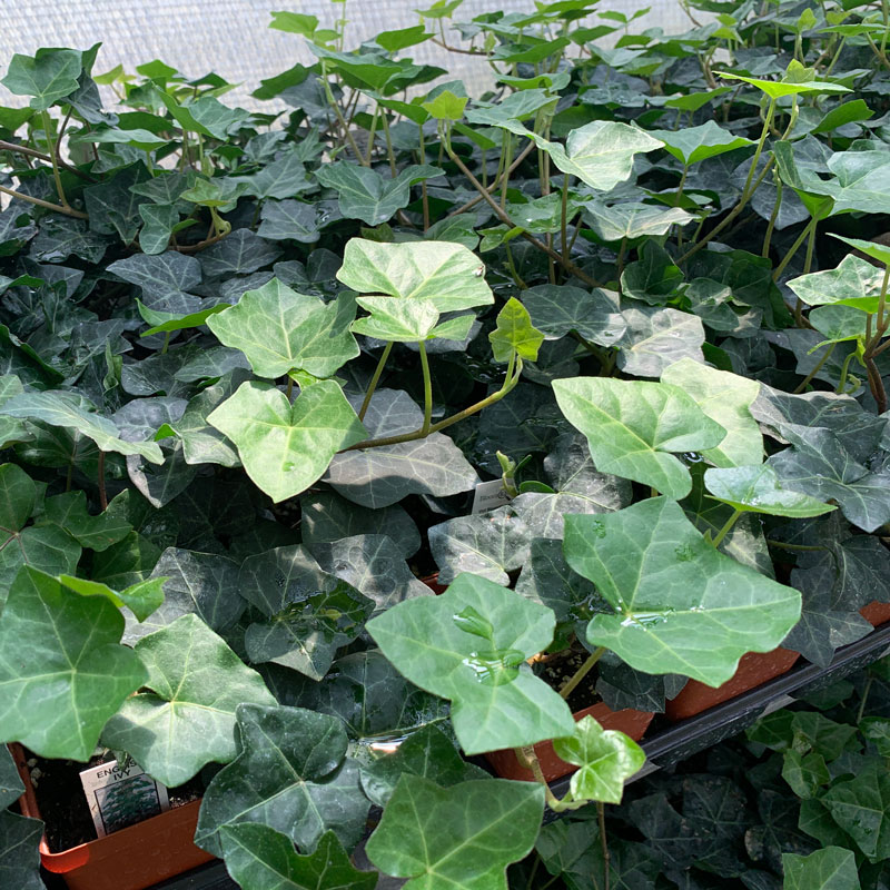 Ground Cover | English Ivy