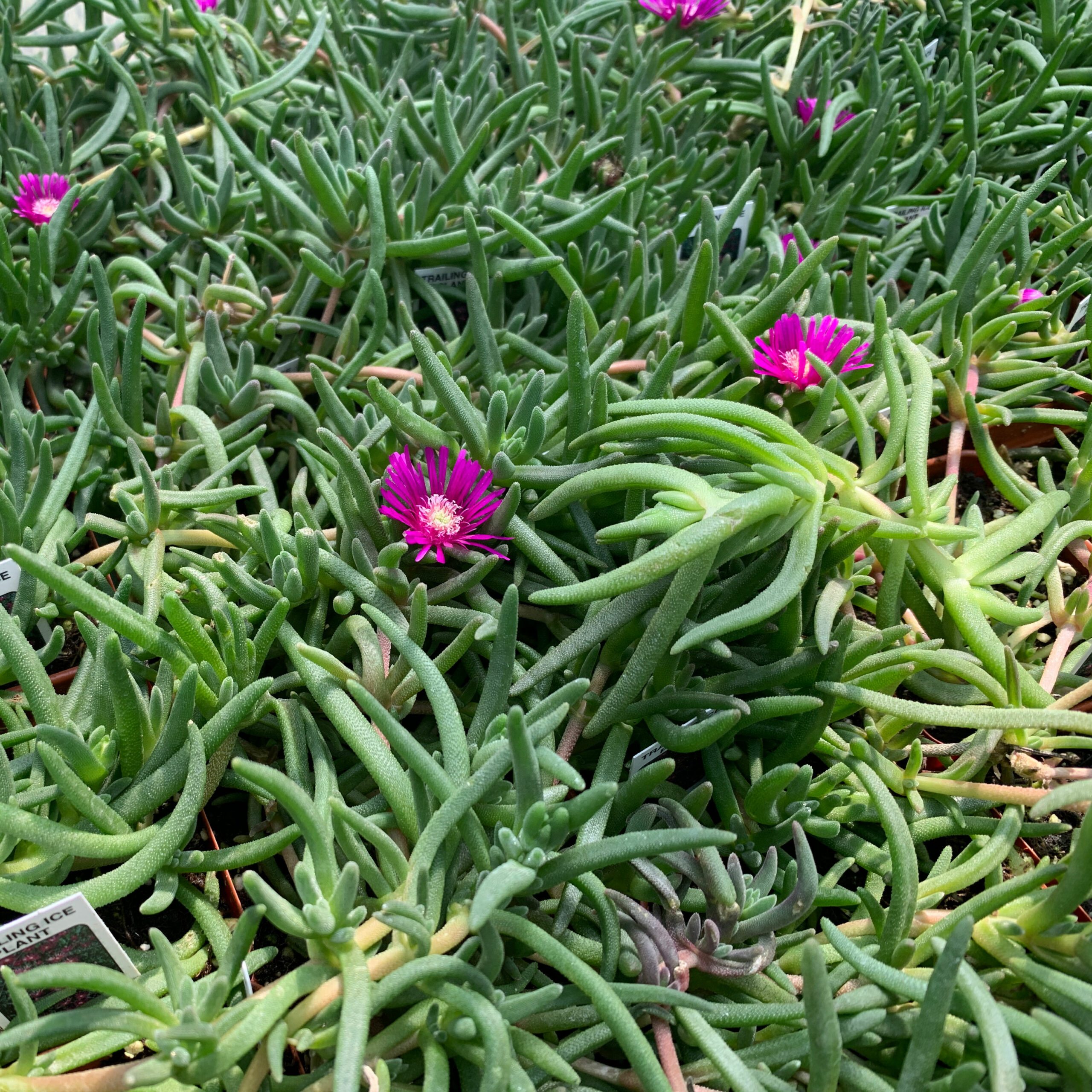 Ground Cover | Trailing Ice Plant