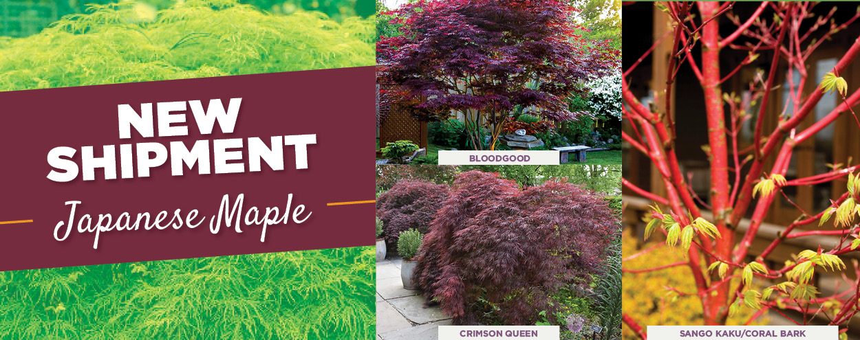 Japanese Maple | TLC Garden Centers
