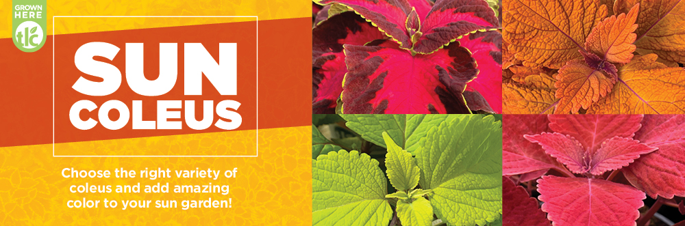 Coleus | TLC Garden Centers