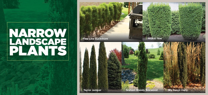 Narrow Landscaping Plants | TLC Garden Centers
